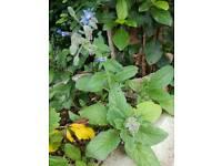 Plant Herb Barrage