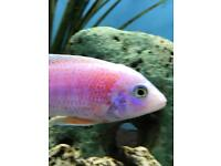 Malawi Cichlid fish