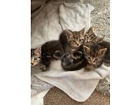 Stunning fluffy tabby kittens