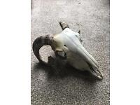 Taxidermy Sheep Skull