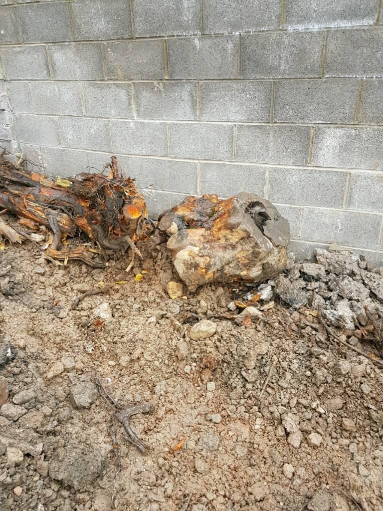 Free firewood Tree stumps
