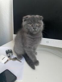 British shorthair maine coon mix REDUCED