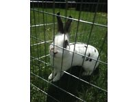 Rabbit and indoor cage
