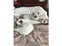 3 Beautiful pointed kittens for sale