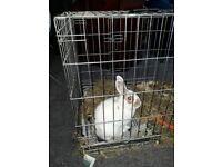 10 month old rabbit
