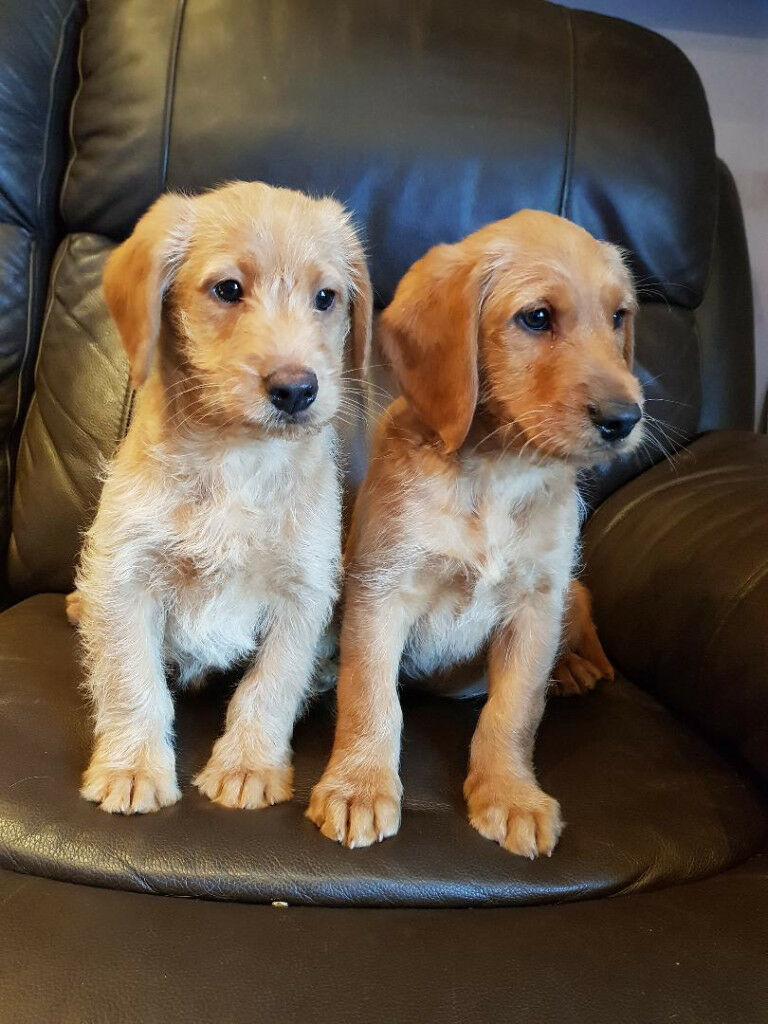 Labradoodle puppies (miniature) | in Ayr, South Ayrshire | Gumtree
