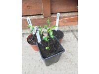 3 small pots of Soya Beans (Elena) veg plants