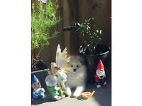 Lhasa apso x Pomeranian puppy