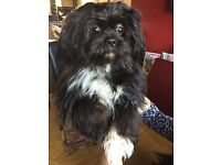 Beautiful shih apso puppies