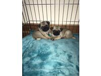 PUG PUPPIES FOR SALE - KC REGISTERED