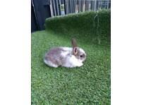 Beautiful Netherland's dwarf baby rabbits