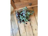 Tradescantia zebrina wondering jew plant