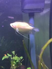 Golden gouramis