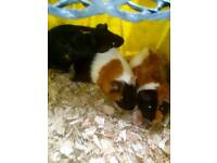 7 Guinea pigs for sale £5 each mail and females do dela on all 7 call me on 07757355396