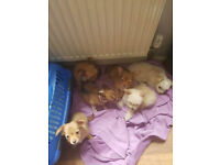 3/4 chihuahua 1/4 chinese crested puppies for sale