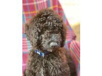Stunning black miniature poodle boys