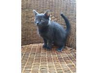 British Shorthair X Cornish Rex blue kitten