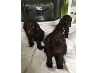 sprookerpoo s all brown with curly coats , mummy is a sprooker and daddy is a miniature poodle