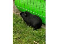 Black Guinea Pig for Sale
