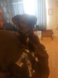 Patterjack puppy for sale 9 weeks old