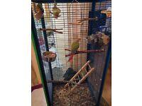 Green Cheek Conure Parrots