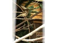 Diamorphic mosaic agate canaries for sale