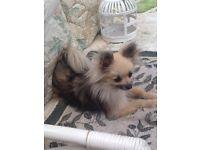 Full Pedigree Pomeranian Amerixan Kennel Club Registered