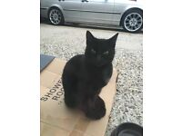 Missing black female cat (about 8 months old) REWARD
