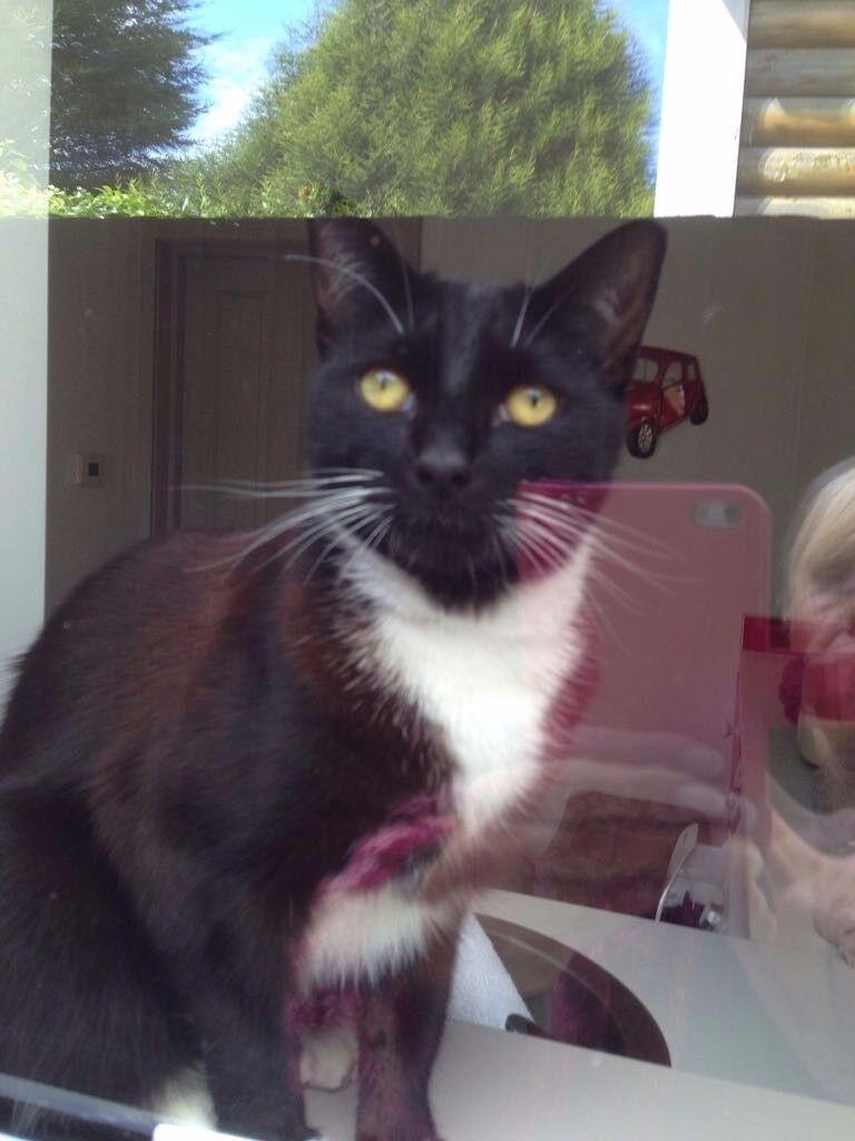 Missing b&w tuxedo domestic short hair cat
