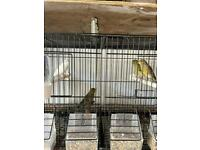 Canary and budgies for sale