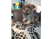 Female Grey west highland terrier puppy