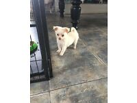 Chihuahua puppies for sale- ready now