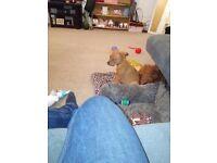 Rotwielier cross mastiff puppy