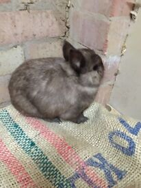 SOLD It's morse, of course. Netherland dwarf buck