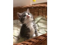 Very cute grey tabby and white tabby kitten for sale