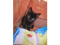 Beautiful Black Kitten