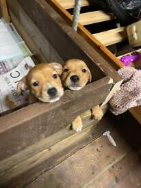 Staff X Jack Russel pups