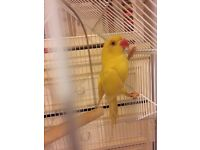 Yellow ringneck for sale