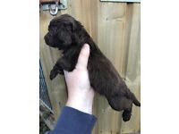Sprocker Pups For