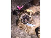 For Sale - Shih Tzu Puppies