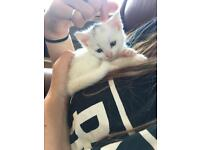 White female kitten for sale