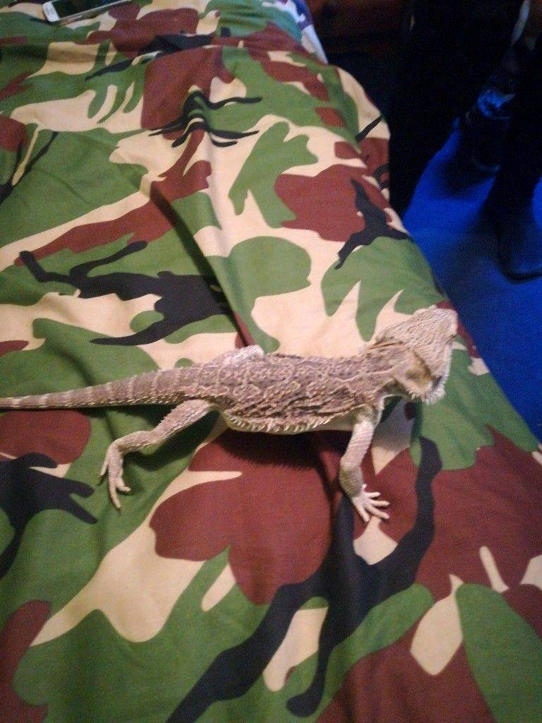 Young Bearded dragon for sale