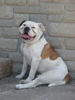 Still Missing - American Bulldog in Vanessa/Scotland Area