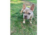 Lilac boy french bull dog