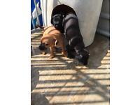 Patterdale x border terrier