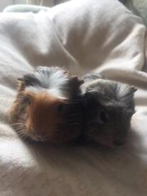Baby guinea pigs 7 weeks old boys