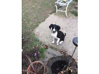 Saluki cross puppy