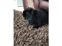 Beautiful Black Mini Lop Rabbit with hutch