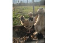 Light Sussex x Silkie Roosters