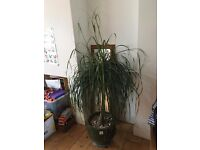 Ponytail (elephant foot) palm tree (indoor) for sale